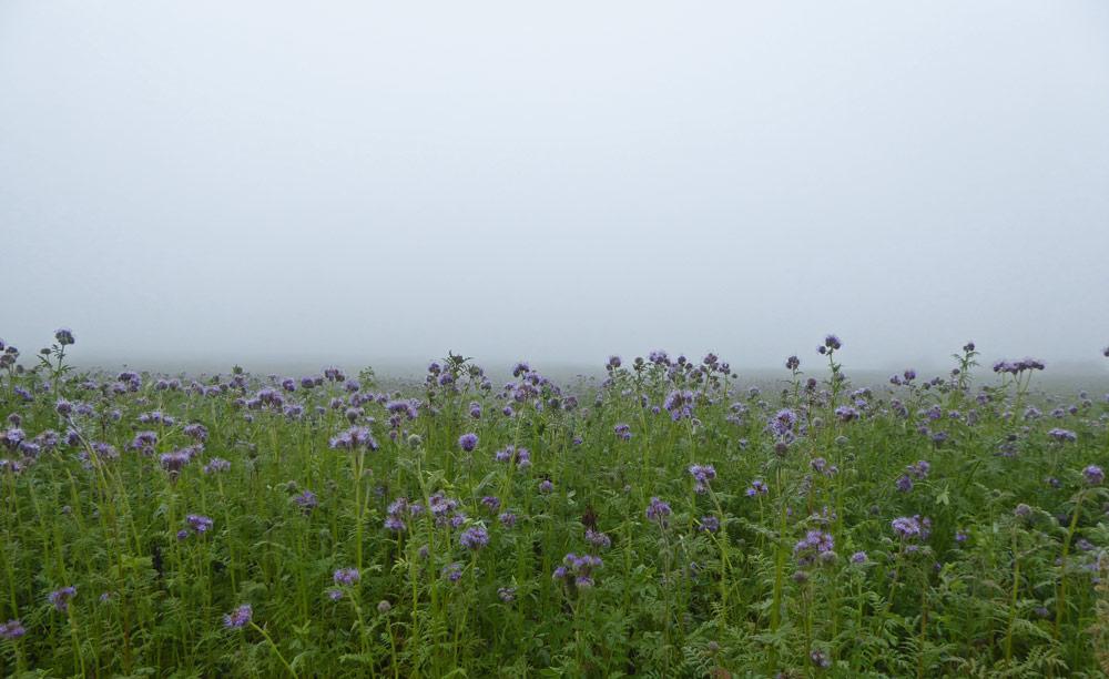 Phacaeliafeld im Nebel