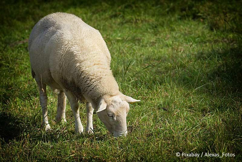 Altmühltaler Lammauftrieb