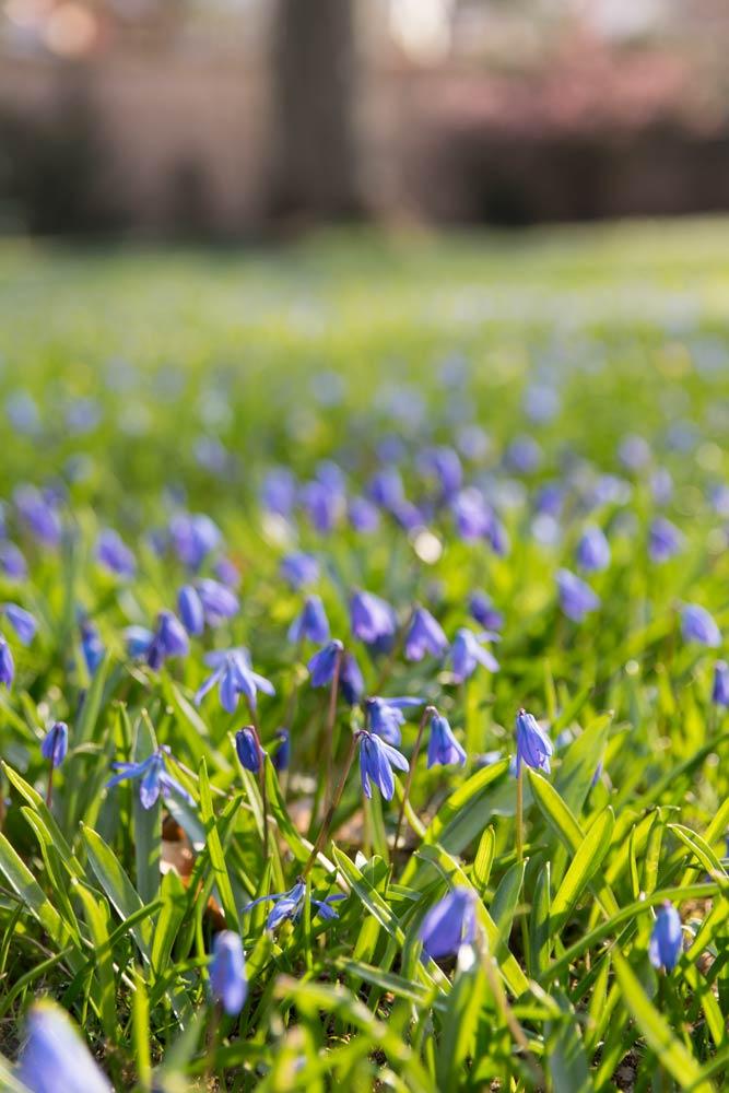 Blausternchen im Ellinger Schlossgarten