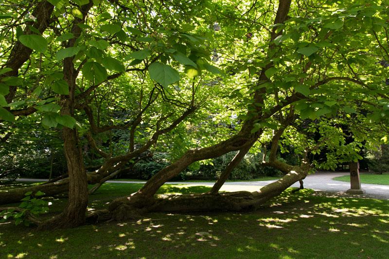 Hofgarten Trompetenbaum