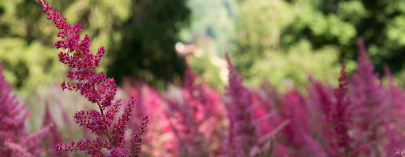 Pflanze Hofgarten rosa