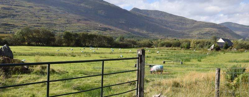 Irland Rundreise Schafe