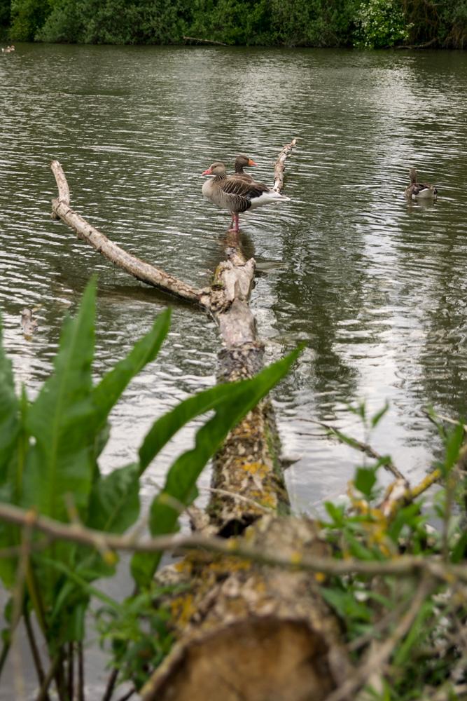 Gänse Altmühlsee Vogelinsel