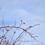 Winter Hagebutten