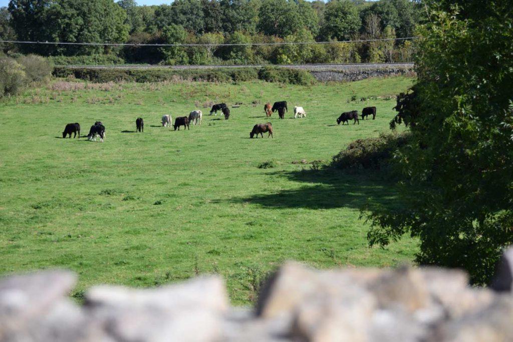 Irland Rundreise Kühe