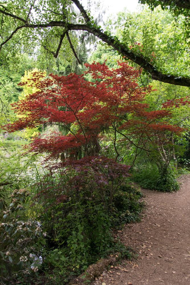 Japanischer Ahorn für den Garten im Schlosspark Dennenlohe, Gunzenhausen
